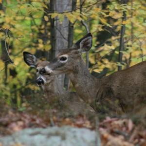 deers-in-woods